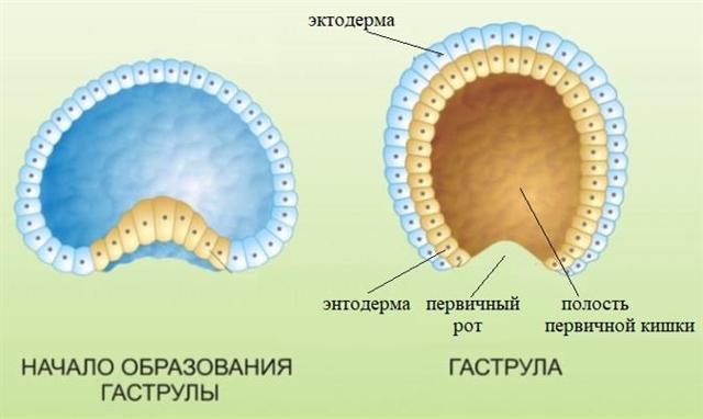 Онтогенез – индивидуальные стадии развития организма